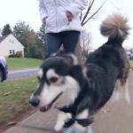 Niepełnosprawny pies zyskuje lepsze życie dzięki drukarce 3D