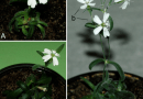 Roślina która ma 32,000 lat (obecnie najstarsza żyjąca na Ziemi) została przywrócona do życia