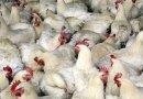 Holandia rezygnuje z kurczaków z ferm przemysłowych