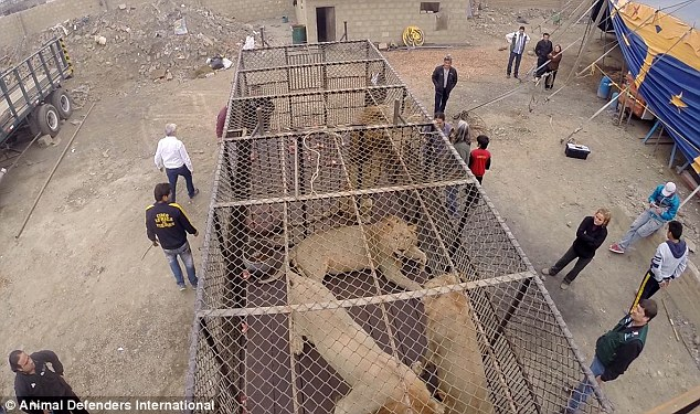 2BE678B500000578-3219445-Trapped_These_lions_locked_in_shockingly_small_cages_in_Huaral_w-a-83_1441200096619