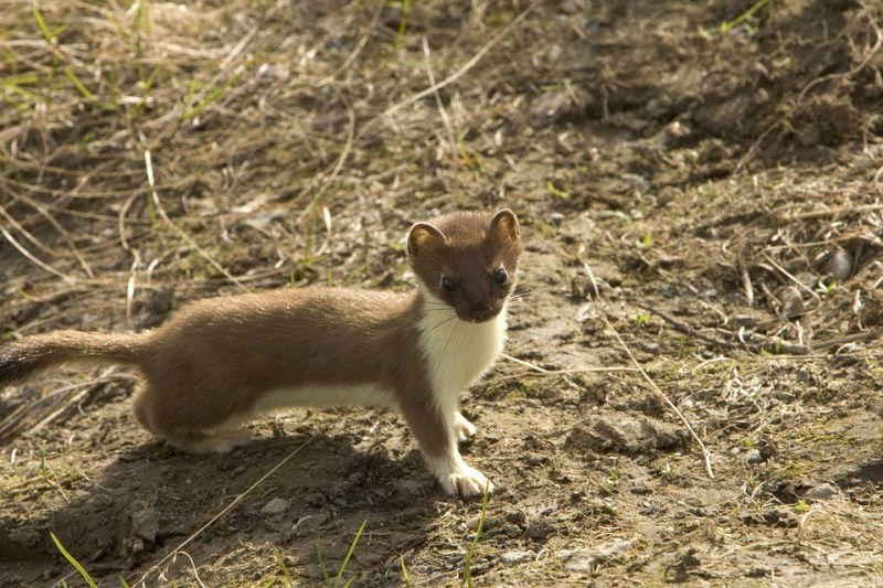short-tailed-weasel-86619_960_720