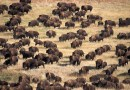 Tysiące bizonów pojawiło się na Standing Rock zupełnie znikąd. Czy to znak od Matki Ziemi?