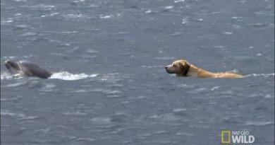 Labrador, który codziennie pływa z delfinami