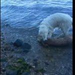 Bohaterski pies uratował tonącą sarenkę