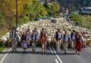 Ogromny redyk w uzdrowisku. Po Szczawnicy wędrowało aż 1800 owiec