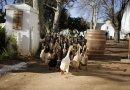 Biegusy indyjskie – kaczki na straży winnicy, jedyne takie miejsce na świecie