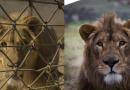 Lwy z Aleppo i Mosulu uciekły przed wojną. Dostały schronienie w Afryce