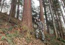 Leśnik wraz z miłośnikiem drzew odkryli najwyższe drzewo w Polsce, o kilka metrów wyższe od dotąd uznawanego za rekordowe.