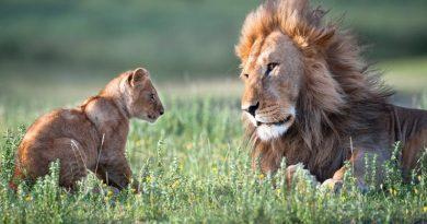 """ONZ uchwaliło tzw """"Lwi Fundusz"""". Twórcy reklam mają płacić za wykorzystanie wizerunku zwierząt"""