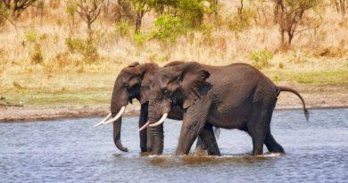 Dlaczego słonie nie chorują na nowotwory?  Naukowcy odkryli unikalny gen