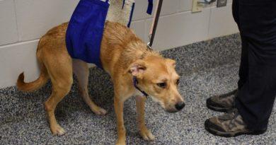 Bez leków i operacji leczy dyskopatię u psów, nastawiając im kręgosłupy