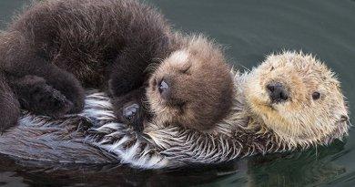 Maleńka wydra zgubiła mamę. Nagranie płaczu pozwoliło im znów być razem