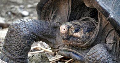 Na jednej z wysp Galapagos znaleziono żółwicę z gatunku uważanego za wymarły