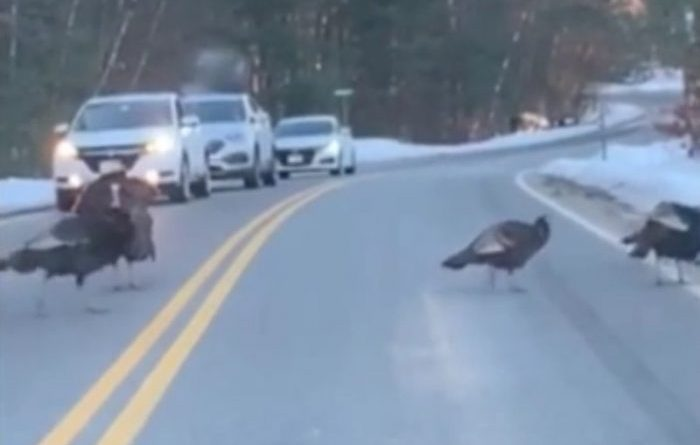 Indyk zatrzymał ruch uliczny, aby reszta ptaków mogła bezpiecznie przejść przez jezdnię