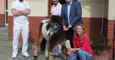 Miał zostać uśpiony, ale kucyka Louisa udało się uratować. Jest pierwszym koniem w Polsce z protezą!