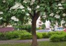 Gigantyczny drzewiasty bez czarny z Rzeszowa Drzewem Roku 2019
