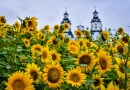 W mieście zakwitły pola słoneczników