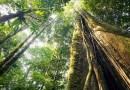 W Amazońskiej dżungli odkryto największe drzewo, jego wysokość wprawia w zdumienie
