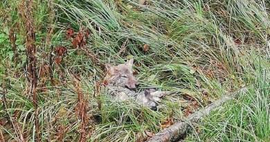 Leśniczy z Nadleśnictwa Nurzec uratował młodego wilka