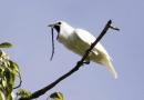 Dzwonnik biały – najgłośniejszy spośród ptaków… śpiewa z siłą startującego odrzutowca