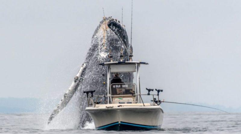 Wieloryb wyskakujący z wody bezpośrednio przy łodzi rybackiej – piękno natury [VIDEO]