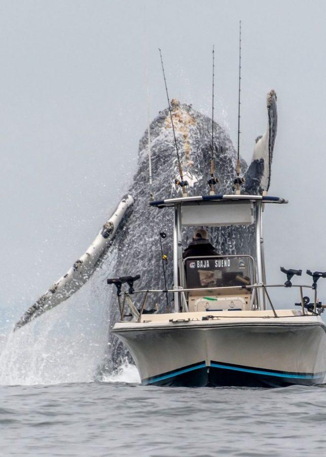 Wieloryb wyskoczył z kalifornijskich wód