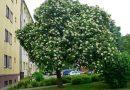 Czarny bez z Rzeszowa w konkursie na Europejskie Drzewo Roku 2020
