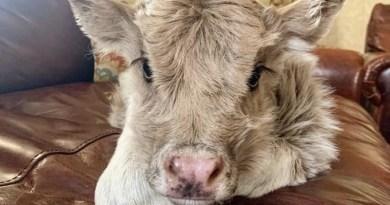 zdjęcia krów