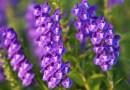 Tarczyca bajkalska – jeden z najlepszych roślinnych specyfików o działaniu przeciwwirusowym