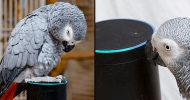 Papuga zakochuje się w asystencie głosowym Alexa i ciągle zamawia coś na Amazonie