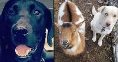 Zaginiony pies powraca do domu z dwójką nowych przyjaciół, których poznał po drodze