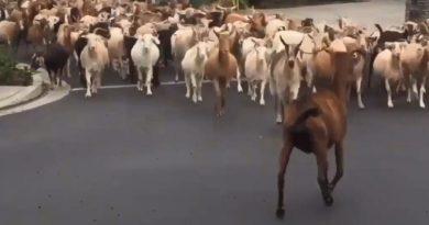 Około 200 kóz-uciekinierek przemierza ulice miasta w stanie Kalifornia