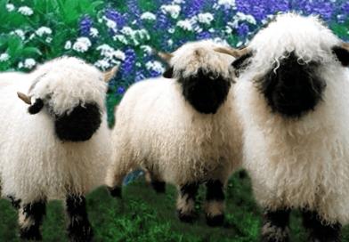 Owce walliserskie czarnonose wyglądają jak pluszowe maskotki i są świetnymi zwierzakami domowymi