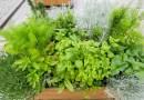W Gdańsku pojawiły się skrzynki z ziołami kulinarnymi i leczniczymi Można się nimi częstować