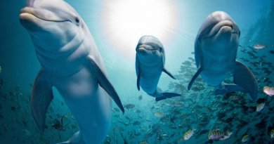 """Naukowcy odkryli że delfiny zakładają """"boysbandy"""", aby kusić samice swoimi występami"""