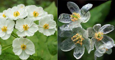 Roślinny kameleon – oto kwiaty, które stają się półprzezroczyste, kiedy pada