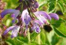 Szałwia czerwona – jedna z najskuteczniejszych roślin chroniących przed wirusami układu oddechowego