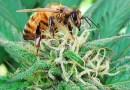 Czy konopie uratują populację pszczół?