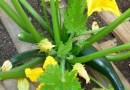 Rośliny takie jak ogórek, dynia czy cukinia oczyszczają glebę