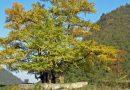 Miłorząb japoński w ogóle się nie starzeje. To prawdziwie nieśmiertelne drzewo!