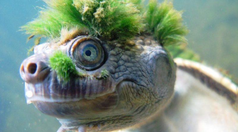 Żółw Mary River