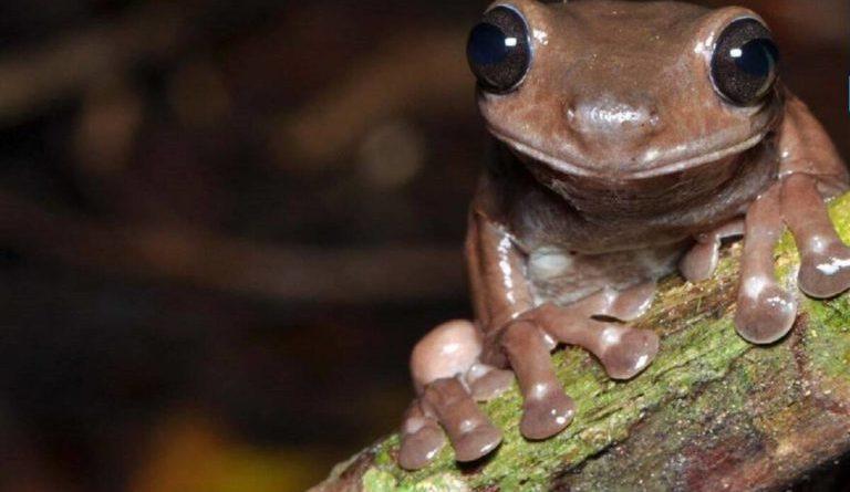 czekoladowa żaba