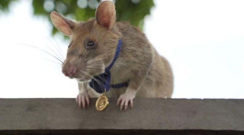 Szczur-saper