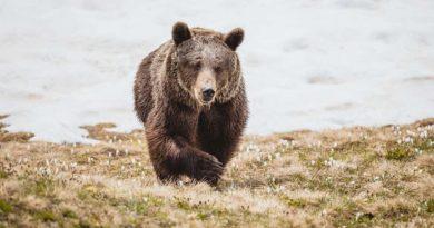 niedźwiedzica