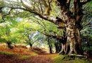 Monumentalne, wielkie i stare. Ustawa tego kraju chroni drzewa pomniki