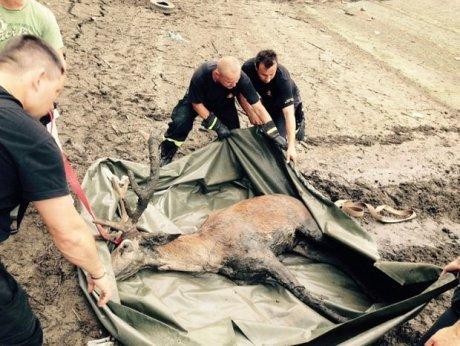 z18321824AAWedkarze zeglarze i mysliwi uratowali jelenia kt