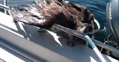 Niezwykła akcja w zatoce. Rybak w ostatniej chwili uratował topiącego się orła