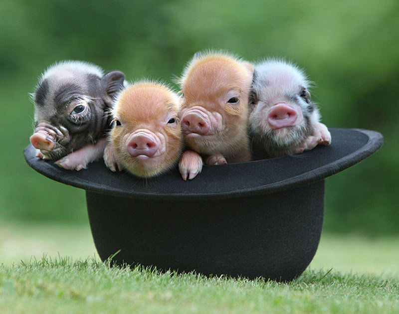 Cute miniature pigs happy life 04