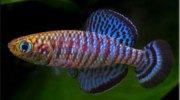 Аквариумные рыбки: Нотобранхиус (Nothobranchius). Описание, виды, содержание и разведение нотобранхиусов