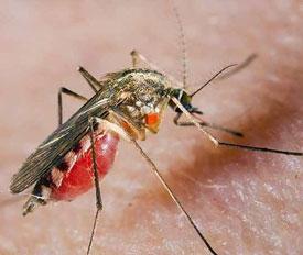 Укус комара. Симптомы, лечение и средства защиты от комаров